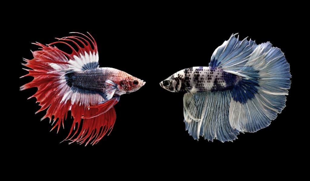 betta fish siamese fighting
