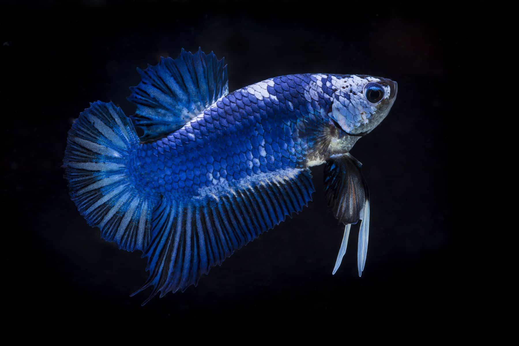 betta fish stripes in black background