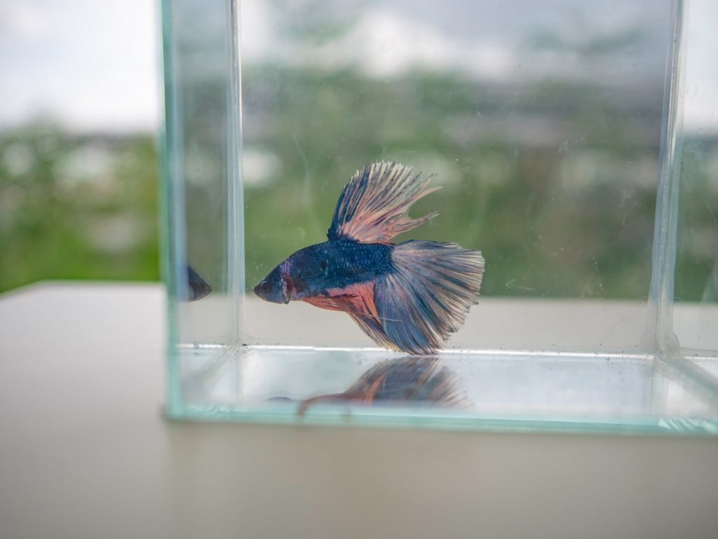 betta fish swimming erratically in fish bowl