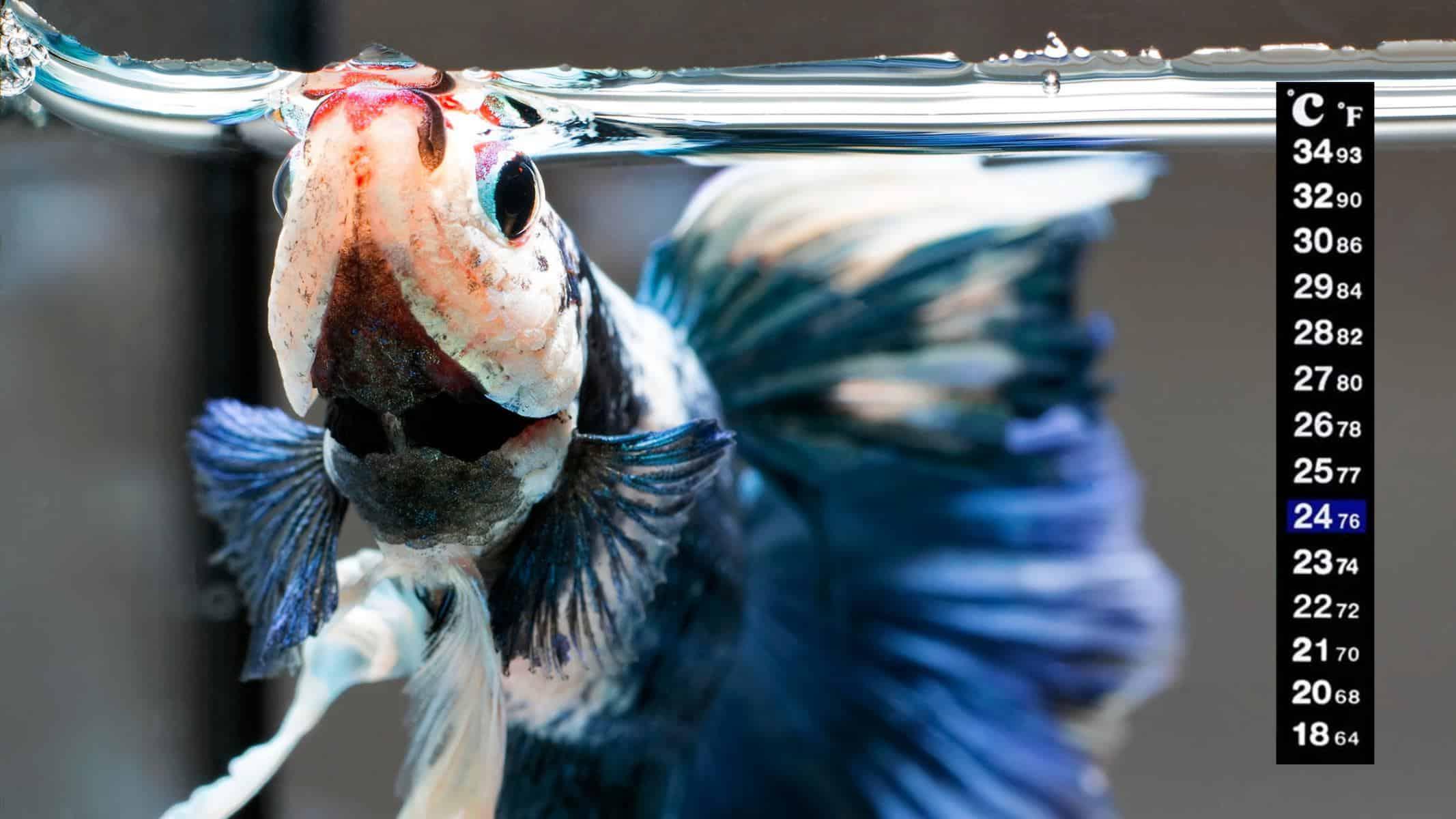 betta fish temperature