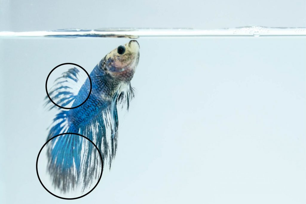 betta fish with fin and rot loss taking a breath in aquarium