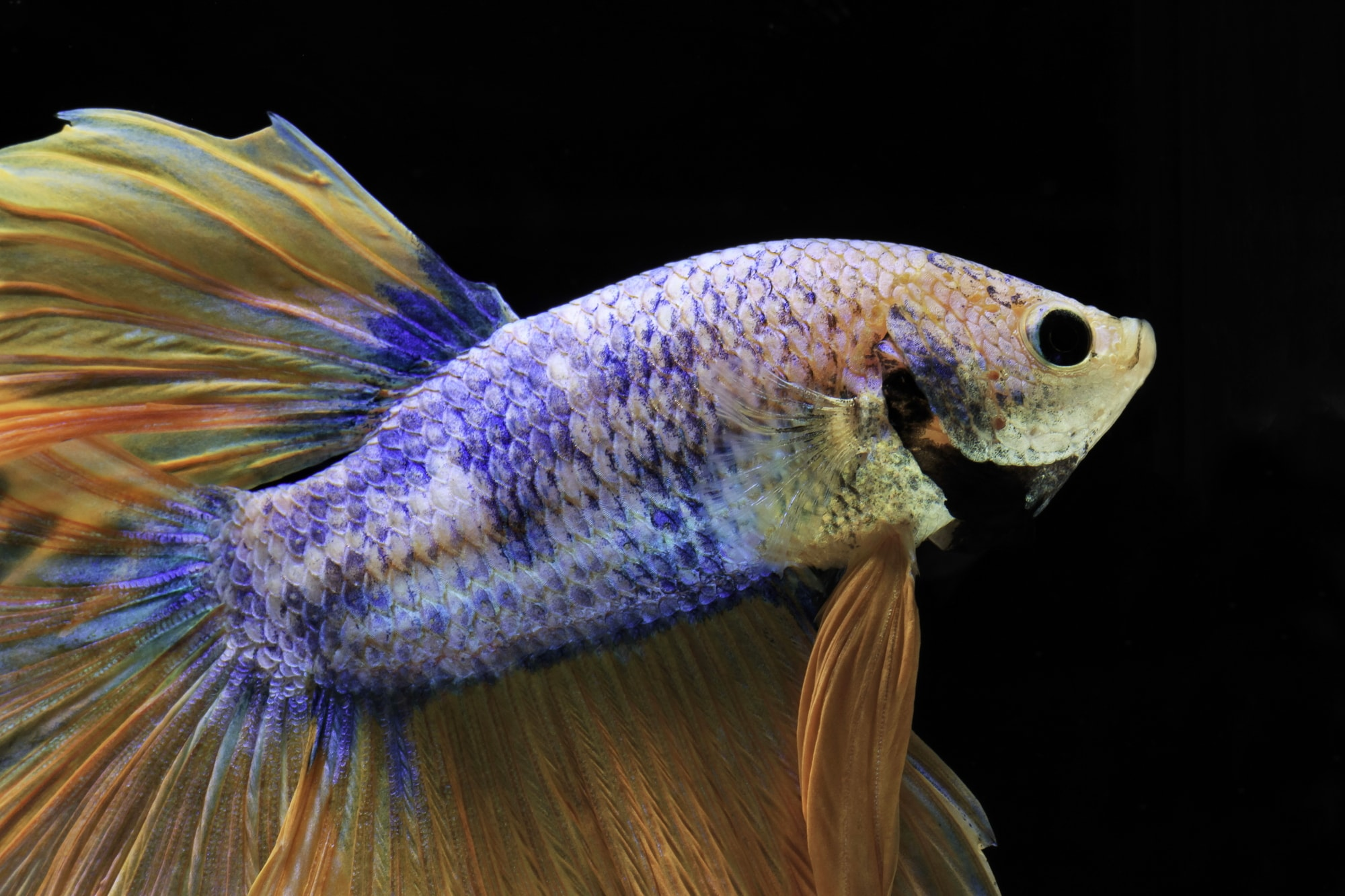 betta fish with gill flukes in black background