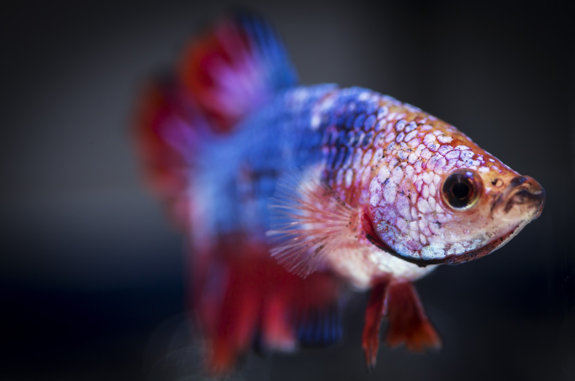 betta fish with gill flukes