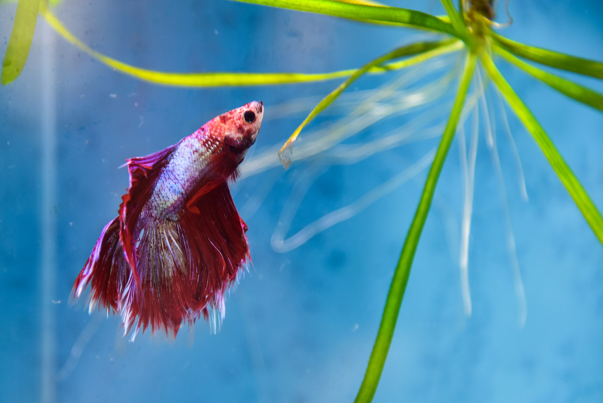 betta fish with plants in aquarium