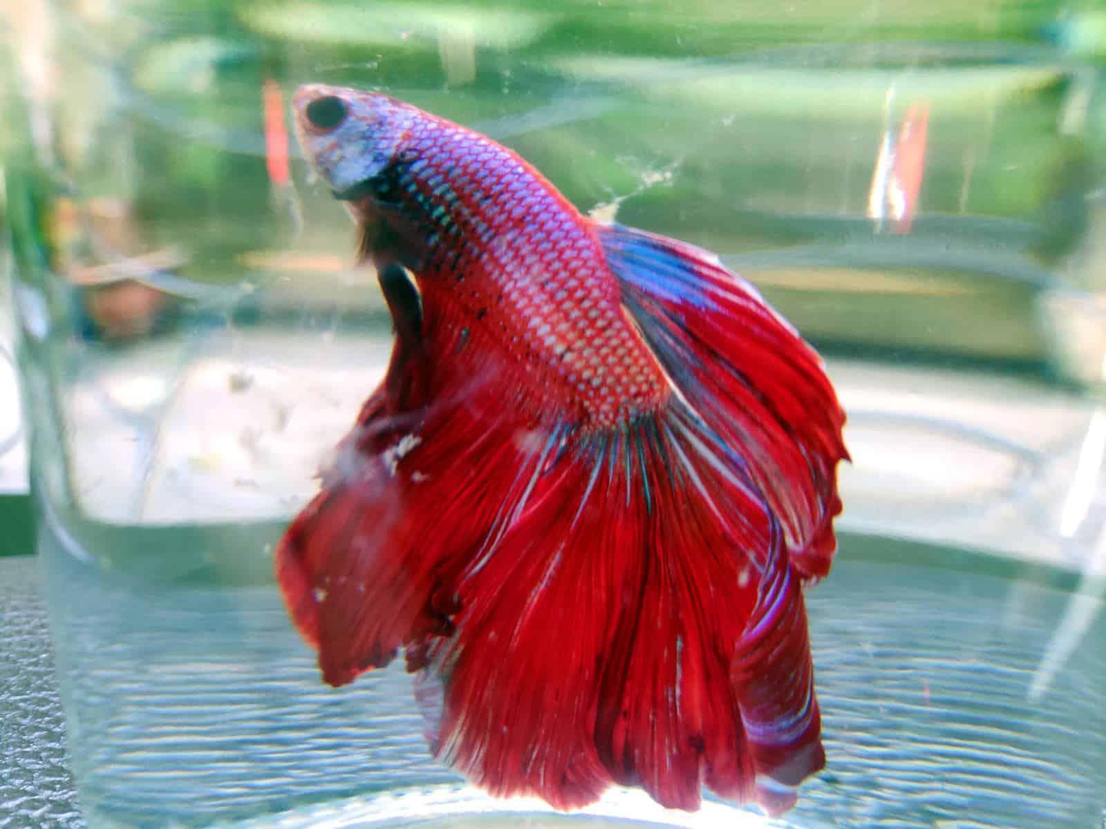betta fish with popeye in fish bowl