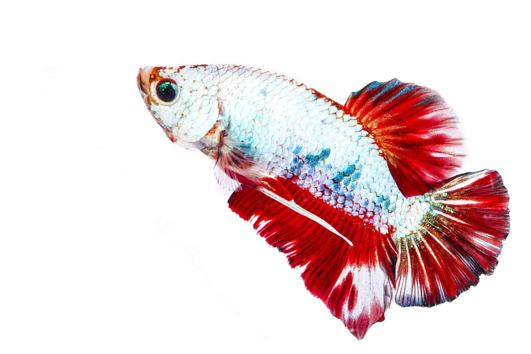 betta fish with septicemia