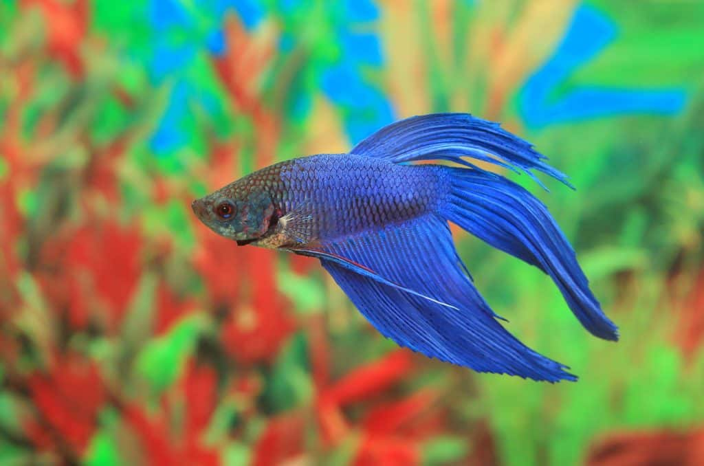 Ammonia Poisoning Betta
