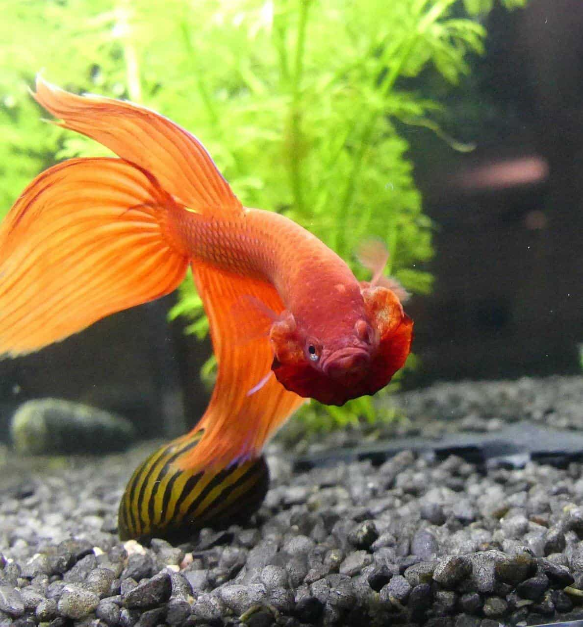betta siamese fighting fish flaring its own gills
