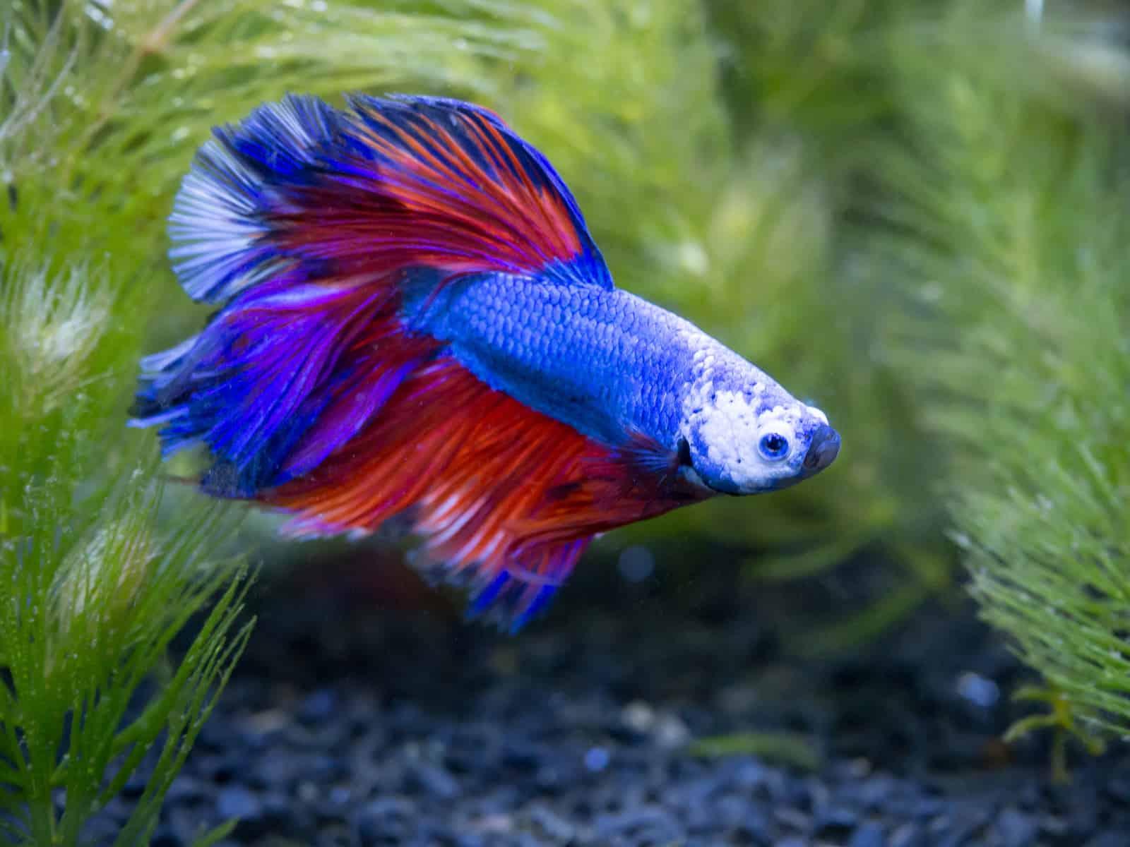 betta siamese fighting fish in aquarium