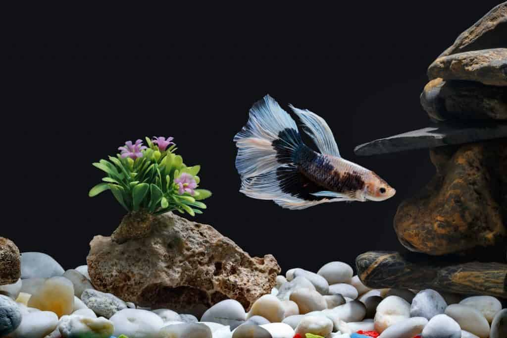 Treats For Your Betta: Find The Perfect One