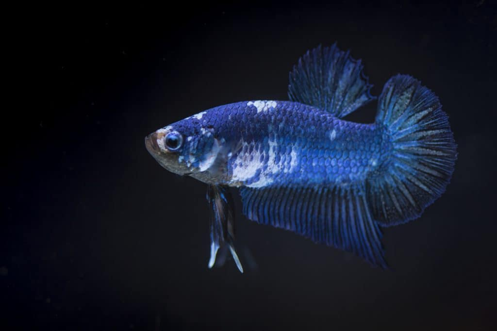 blue stressed and pale betta fish