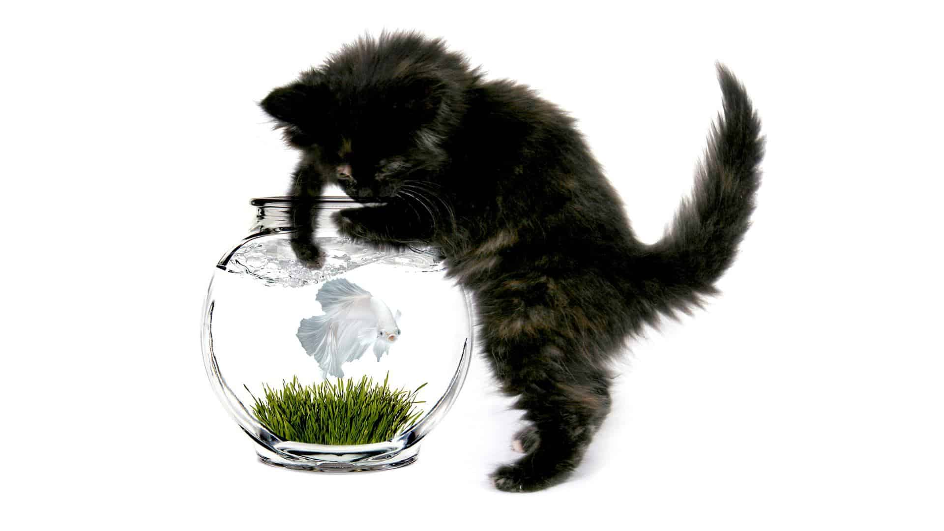 cat catching betta fish