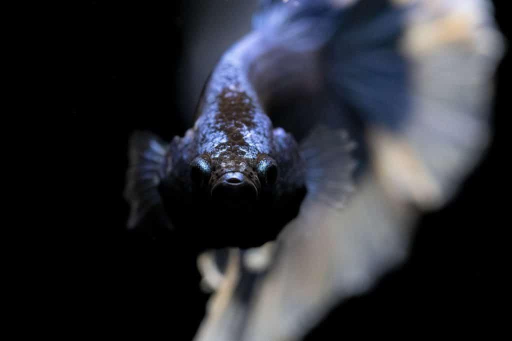close up of betta fish flaring gills