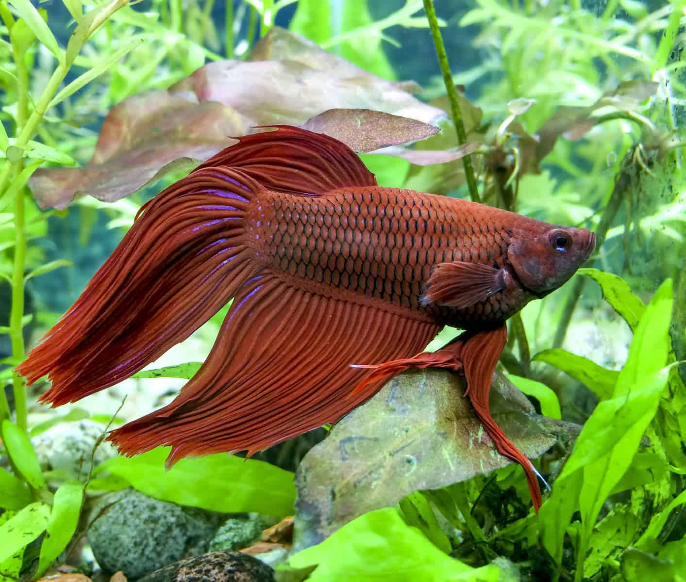 constipated betta fish in aquarium