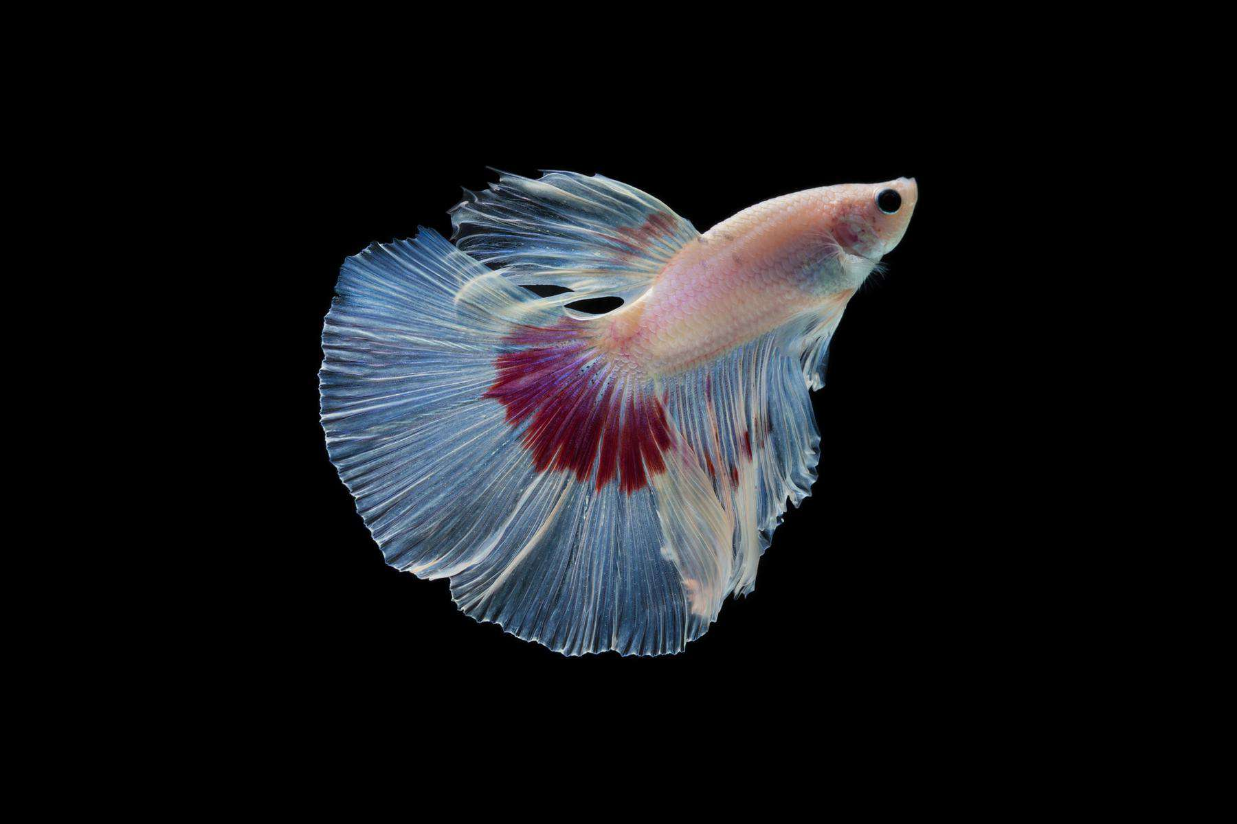 constipated betta fish in black background