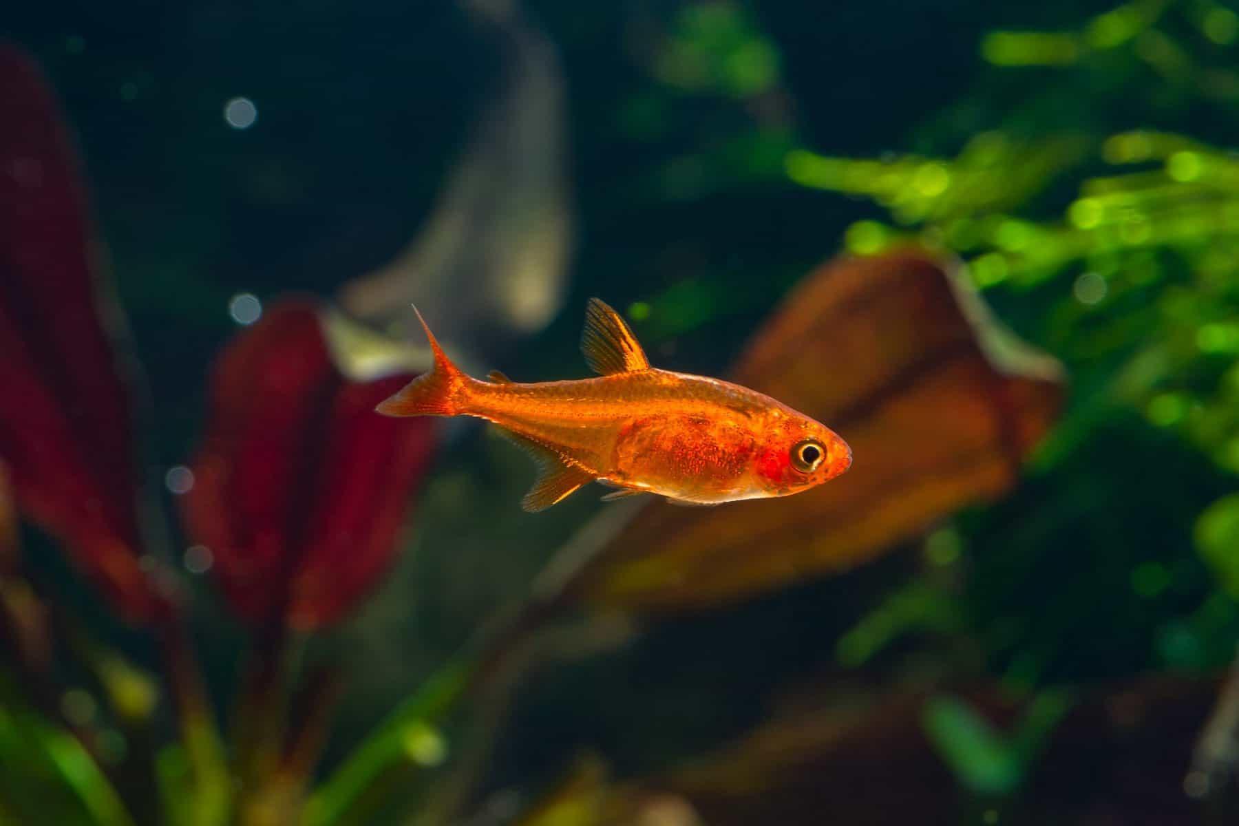 ember tetra fish in aquarium