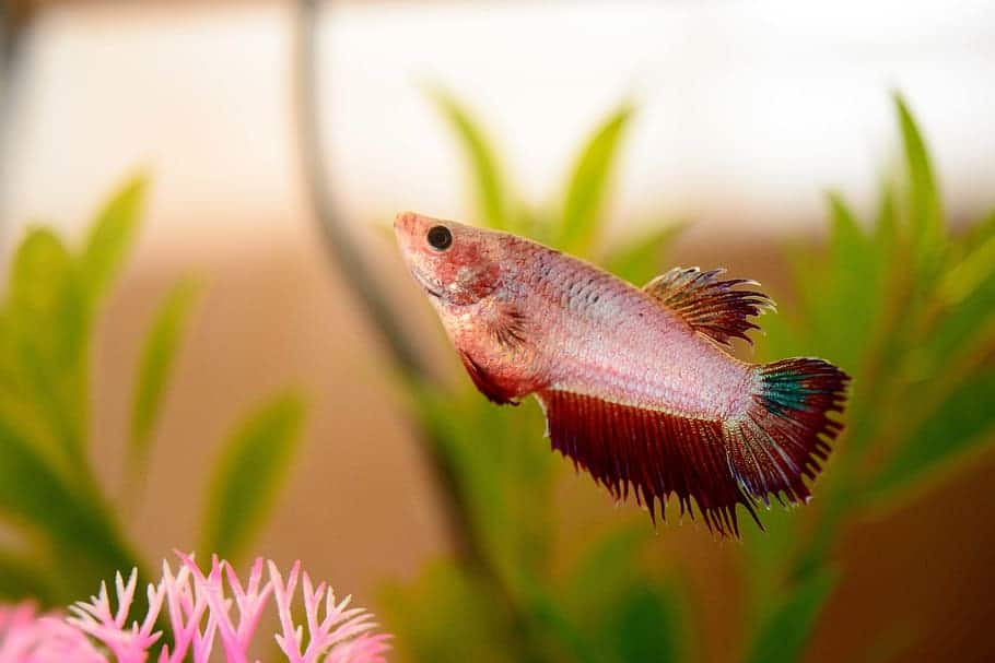 bloated betta
