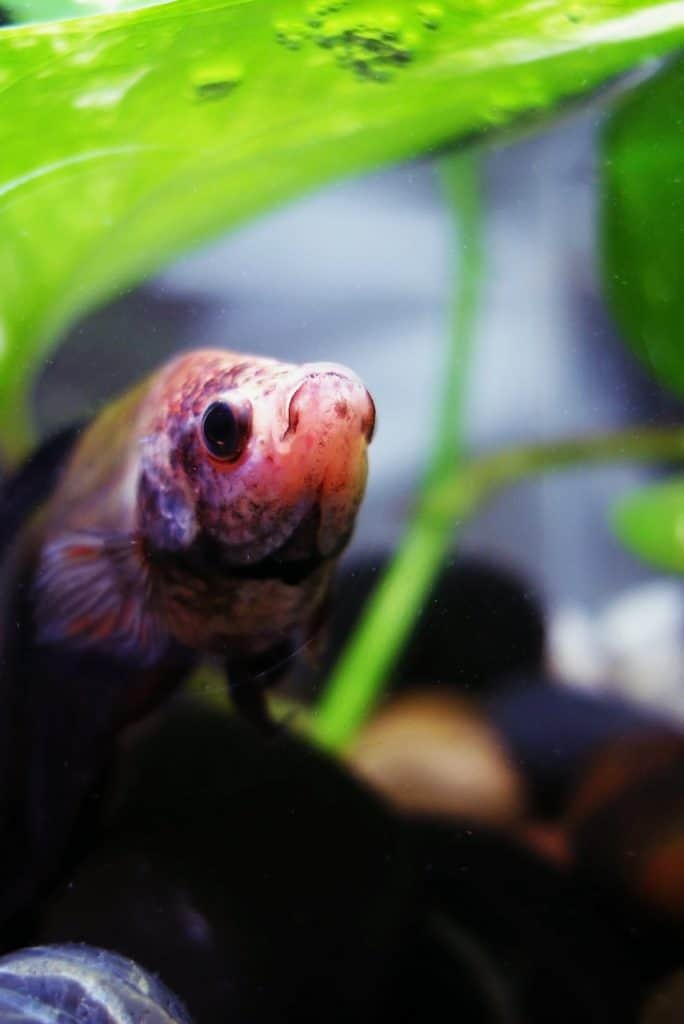 Betta fish burrowing