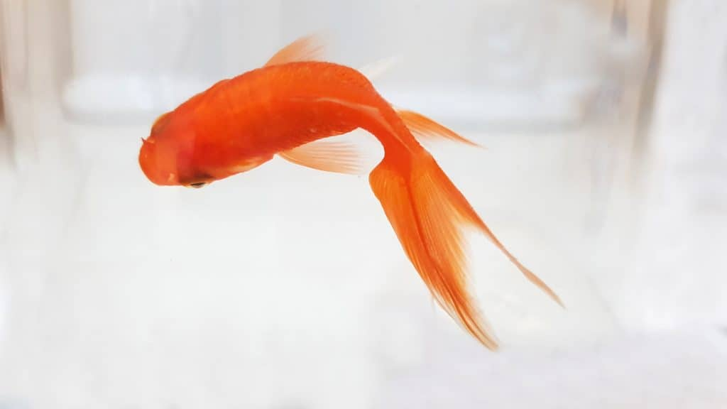 can bettas live with goldfish