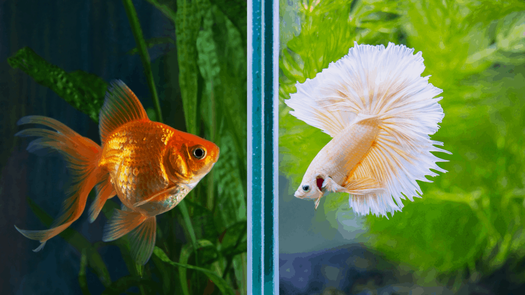 goldfish and betta fish in separate aquarium