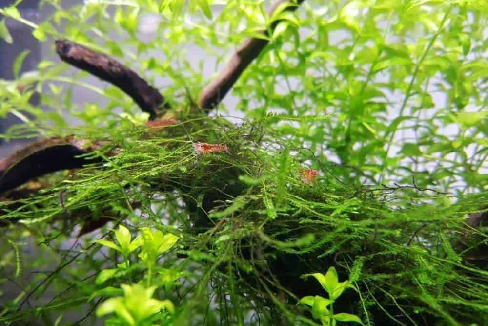 Java Moss With Betta