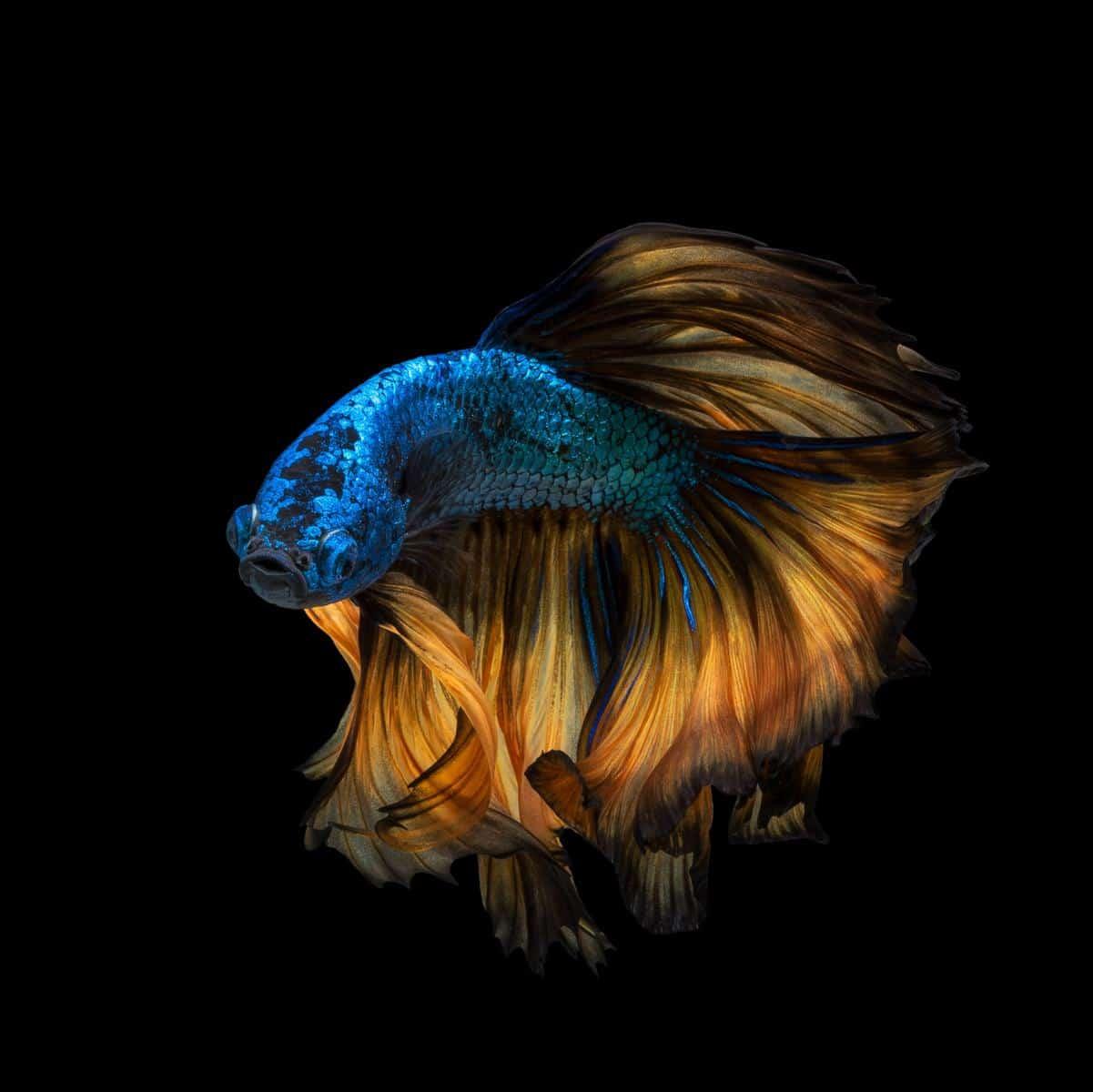 multi-colored paradise betta