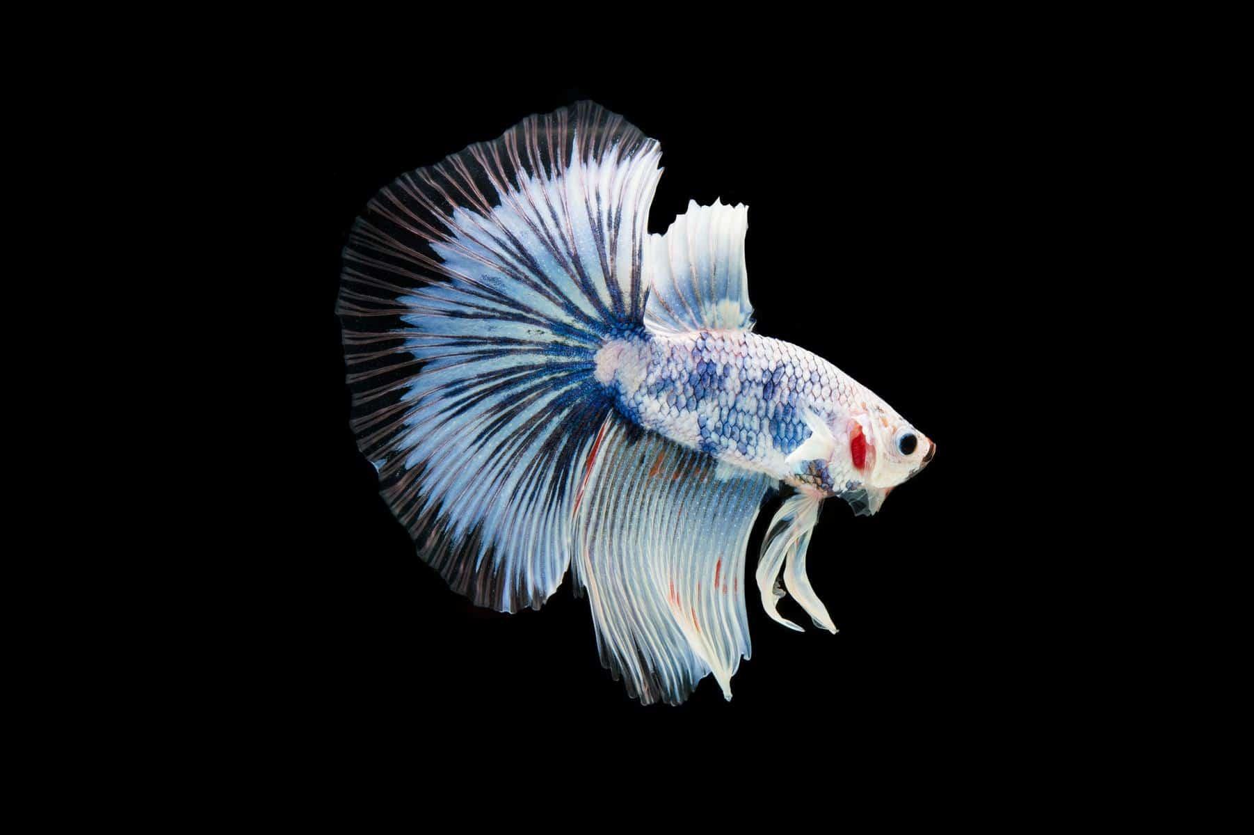 pale betta fish