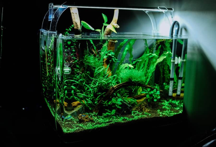 algae eaters and betta fish