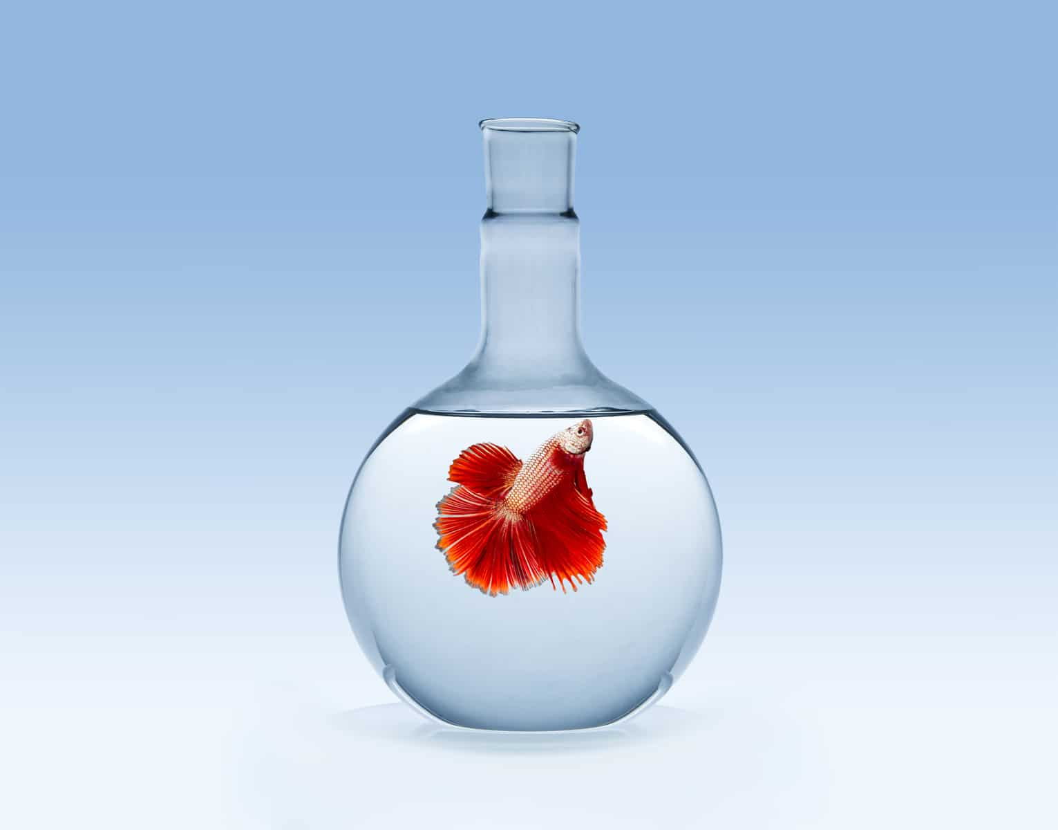 red betta fish in a fish bowl with clear water