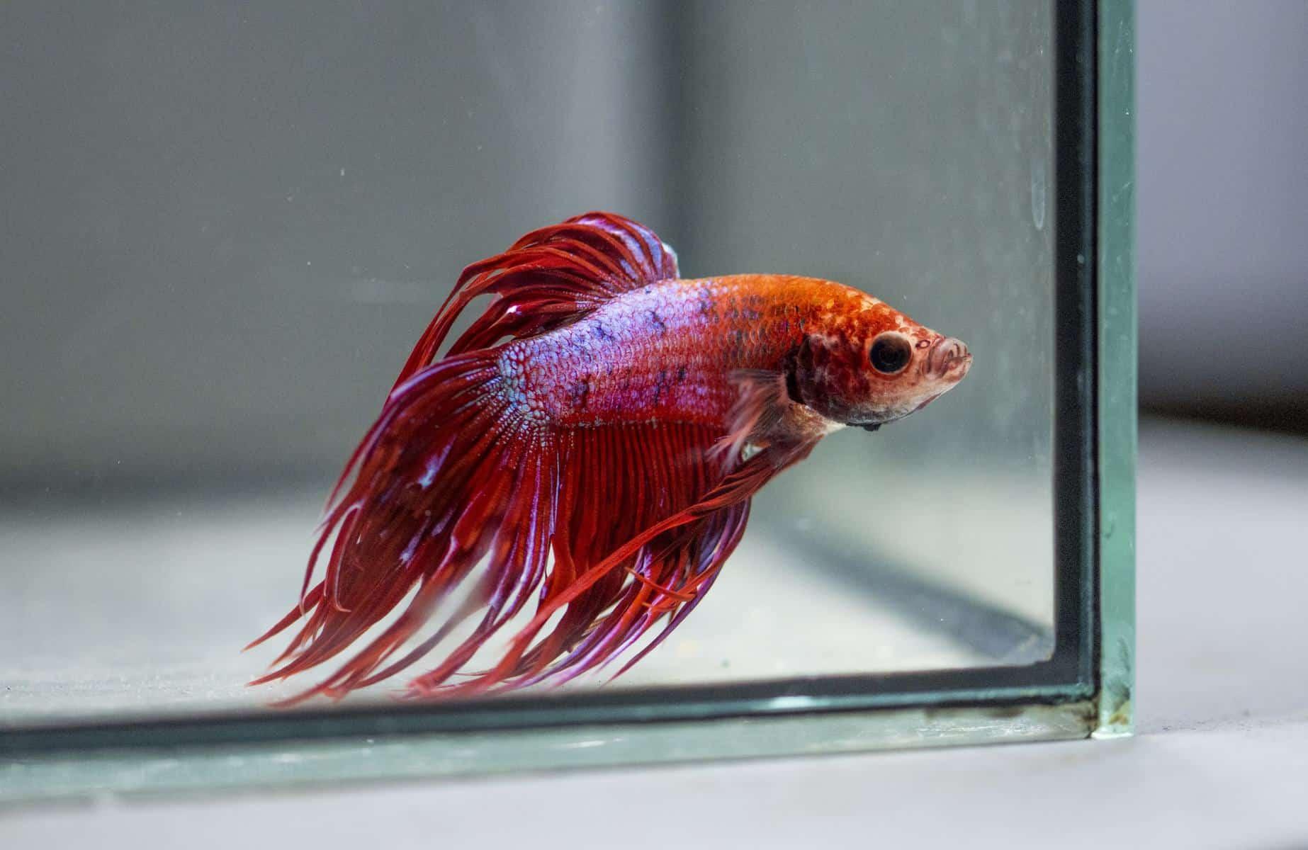 red betta fish in the bottom of aquarium