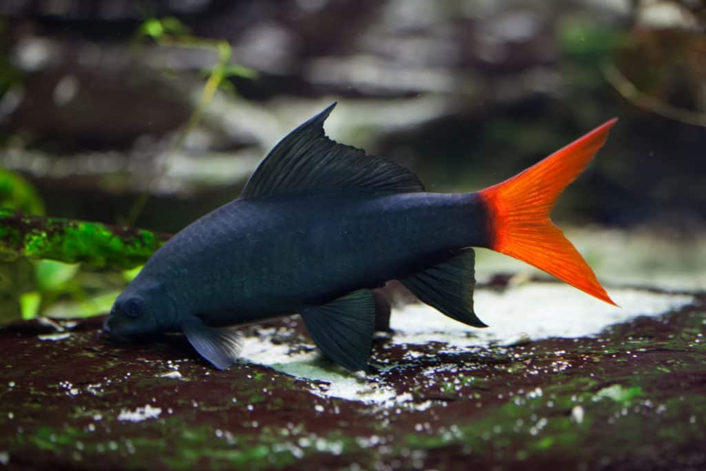 Red Tail Shark With Betta