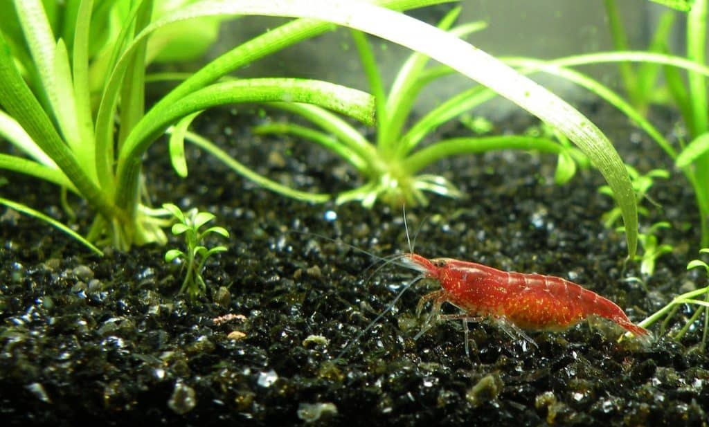 can bettas live with shrimp