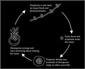 velvet life cycle